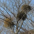 ヤドリギ(宿り木)