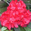 石楠花(シャクナゲ)のつぼみ