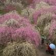 梅の花(いなべ農業公園)