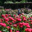 春の薔薇2