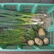 家庭菜園:収穫