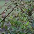 虫食い葉の多い木に、モズがとまっていた。
