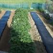秋作の準備、畝立てとマルチ張り。