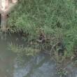 ミズトカゲが泳いでる