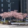 一番先に咲く桜
