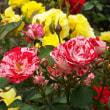花の文化園のバラ園