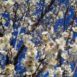 日記(2.20)梅の花 耕運機がけ