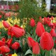 春といえばこのお花でしょ♪ チューリップ