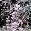 成願寺のしだれ桜