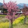 水無川の桜と菜の花