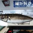 やっとタチが来た!そしてデカアジ好調! 東京湾釣行記