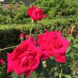 薔薇がいっぱい、バラ園巡り