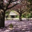 若葉の古河総合公園を白柴 小太郎と散歩