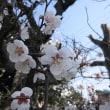 春の息吹 梅も満開