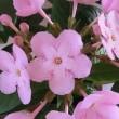 ルクリアココの花は