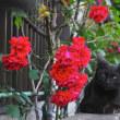 紫陽花と薔薇と