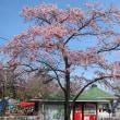 野田「清水公園」の桜