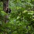 森の中のキツツキさん…オオアカゲラ