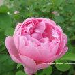 ゴールデン  ウイングス 〜 8月のバラ