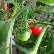 ブーゲンビリアとトマトとシュロ竹の比較観察①