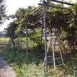 キウイの収穫開始