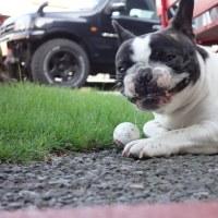 7/20 French bulldog