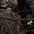 20180328 城山片栗の里満開 32 Fujifilm-Digtal Camera X100T