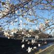 東京の桜の開花宣言が出た