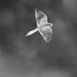 チョウゲンボウが飛ぶ
