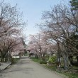 桜咲く(^o^)丿