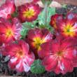 プリムラ・ポリアンサという花