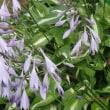 コバギボウシ(淡紫花が数多咲いていた)