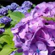 雨上がりの紫陽花は綺麗ですね~♪