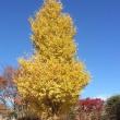 御近所の黄葉