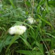 野に咲く夏の可憐な花   夜のカラスウリの花