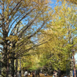 国営昭和記念公園の黄葉(2)