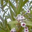 垣根道に、ヘクソカズラの花が満ちて匂い……