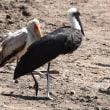 第二回 ケニア探鳥ー25