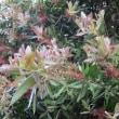 近所の花 エキナセア、ハゼランなど