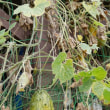 キワーノ(ツノニガウリ)、大量に収穫!