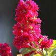 季節の花「ストック」