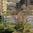 十月桜のその後