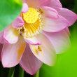 早朝の蓮花とミツバチ