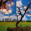 富士桜(マメザクラ)