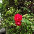 二上山の帰りに小さな赤い花を