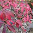 おはようの花」 ニシキギ12月