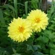 黄色のダリア。