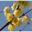 大阪城公園の蝋梅です
