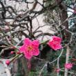🌸2018年2月下旬 巣鴨梅咲く🌸画像4枚