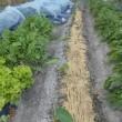ショウガの乾燥防止 もみ殻で代替